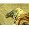 komodo dragons